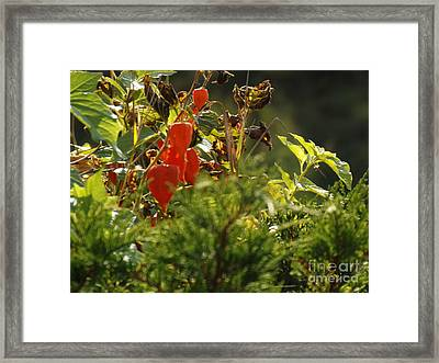 Framed Print featuring the photograph Lantern Plant by Brenda Brown