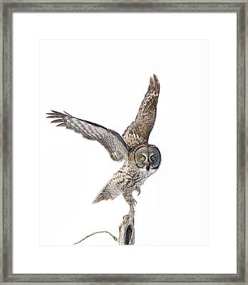 Lapland Owl On White Framed Print