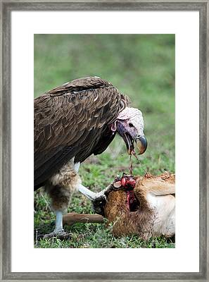 Lappet-faced Vulture Torgos Framed Print by Panoramic Images