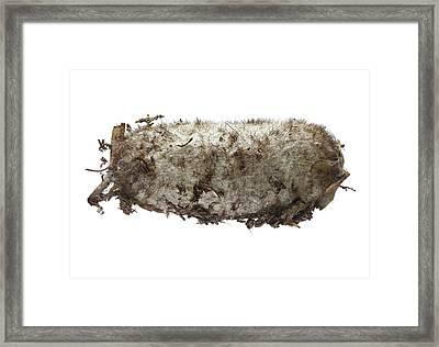 Lappet Moth Pupa Framed Print by F. Martinez Clavel