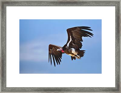 Lappetfaced Vulture Framed Print by Johan Swanepoel