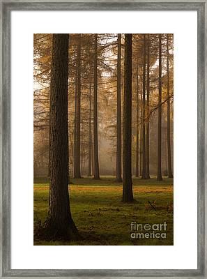 Larch Grove Framed Print by Anne Gilbert