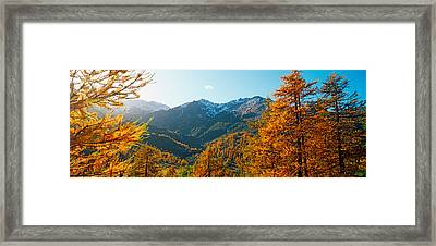 Larch Trees In Autumn At Simplon Pass Framed Print