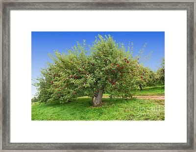 Large Apple Tree Framed Print