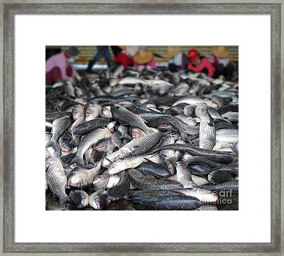 Large Catch Of Grey Mullet Fish Framed Print by Yali Shi