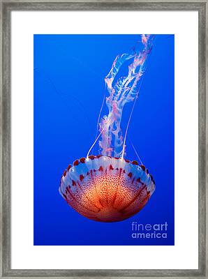 Large Colorful Jellyfish Atlantic Sea Nettle Chrysaora Quinquecirrha  Framed Print by Jamie Pham
