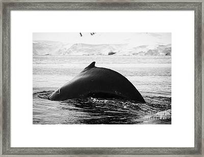 large male Humpback whale with arched back diving in Wilhelmina Bay Antarctica Framed Print