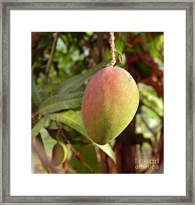 Large Mango Fruit On Tree Framed Print by Yali Shi