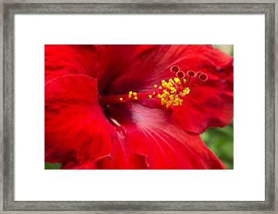 Large Red Hibiscus Framed Print