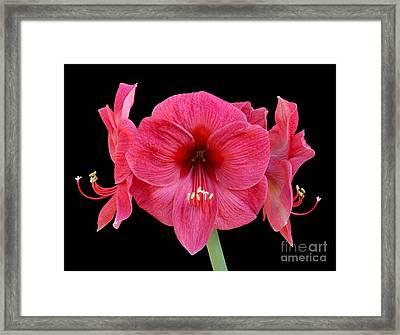 Large Silky Pink Amaryllis Flower On Black Framed Print by Rosemary Calvert