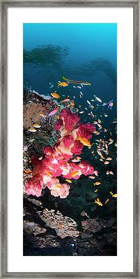 Large Thistle Soft Coral Grows Framed Print by Panoramic Images