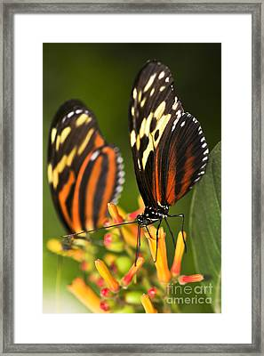 Large Tiger Butterflies Framed Print