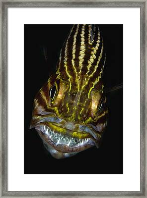 Large-toothed Cardinalfish Brooding Framed Print