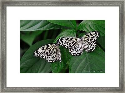 Large Tree Nymph Butterfly Framed Print by Winston D Munnings