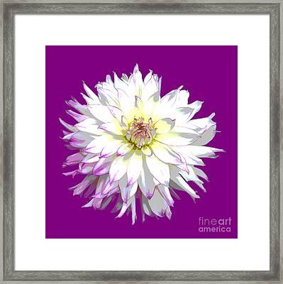 Large White Dahlia On Purple Background. Framed Print by Rosemary Calvert