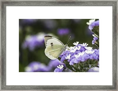 Large White Pieris Brassicae  Framed Print by Eyal Bartov