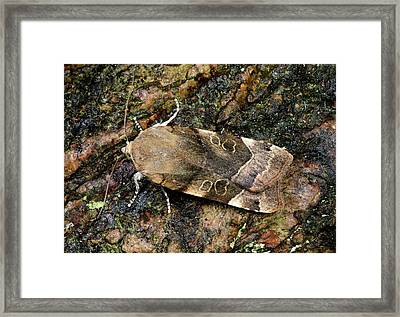 Large Yellow Underwing Moth Framed Print by Nigel Downer