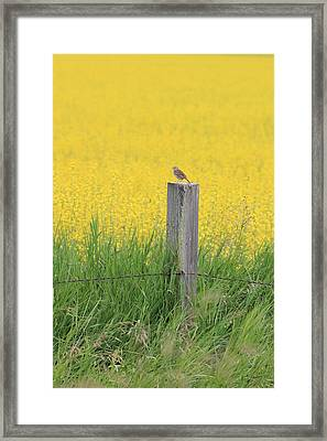 Lark And Canola Framed Print by Susan Copley