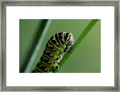 Larva...caterpillar  Framed Print by Larry Trupp