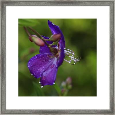 Lasiandra Flower With Raindrops Framed Print by Noel Elliot