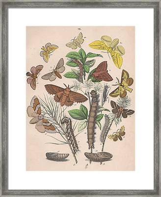 Lasiocampa Framed Print by W Kirby
