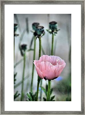 Last Of The Poppies Framed Print