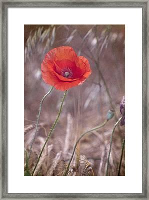 Last Poppy Framed Print by Guido Montanes Castillo