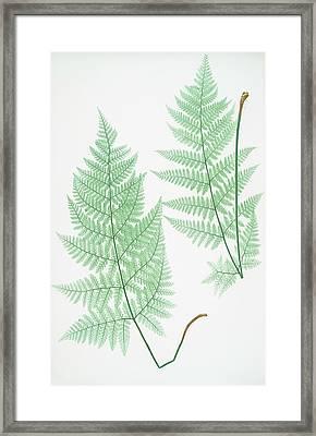 Lastrea Dilatata Framed Print