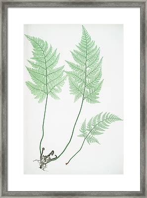 Lastrea Foeniseeii Framed Print