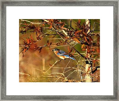 Late Fall Bluebird Framed Print