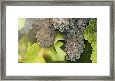Late Harvest Sunshine  Framed Print