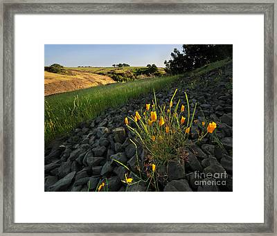 Late Poppies On North Table Mountain Framed Print