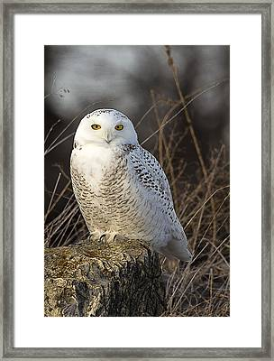 Late Season Snowy Owl Framed Print