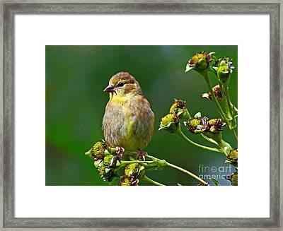 Late Summer Finch Framed Print