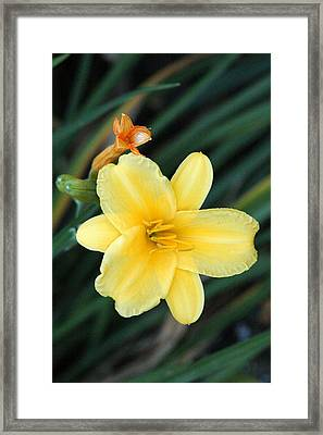 Late Summer Lily Framed Print by James Hammen