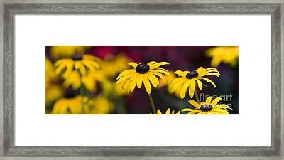 Late Summer Rudbeckia  Framed Print