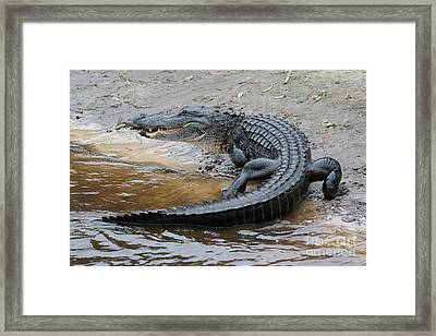 Later Gator Framed Print by Carol Groenen