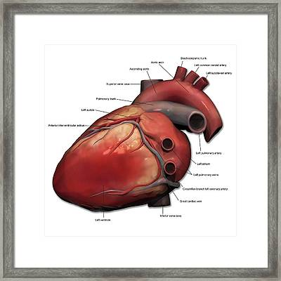 Lateral View Of Human Heart Anatomy Framed Print