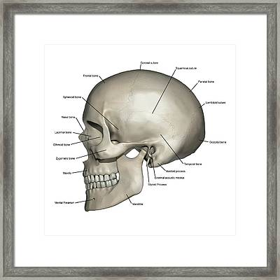 Lateral View Of Human Skull Anatomy Framed Print