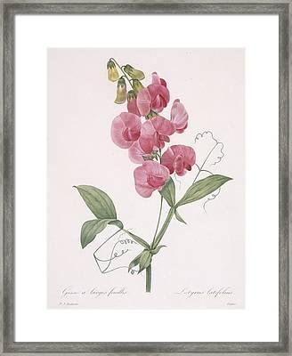 Lathyrus Latifolius Everlasting Pea Framed Print