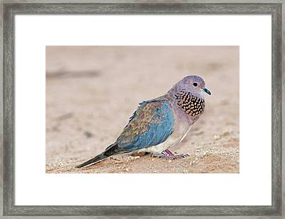 Laughing Dove Calling Framed Print by Tony Camacho