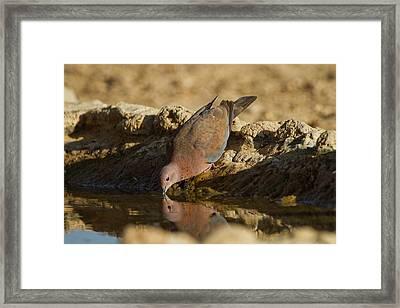 Laughing Dove (spilopelia Senegalensis) Framed Print by Photostock-israel