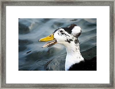 Laughing  Duck Framed Print