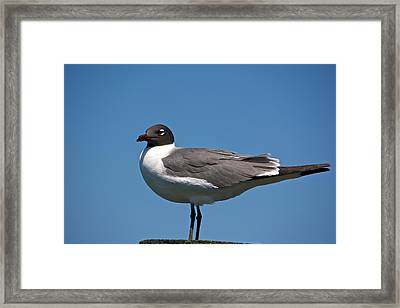 Laughing Gull Framed Print by Kathi Isserman