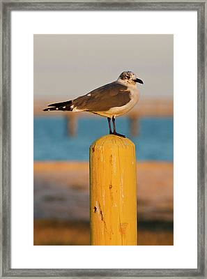 Laughing Gull (larus Atricilla Framed Print by Larry Ditto