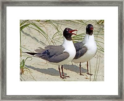 Laughing Gull Pair Framed Print by Millard H. Sharp