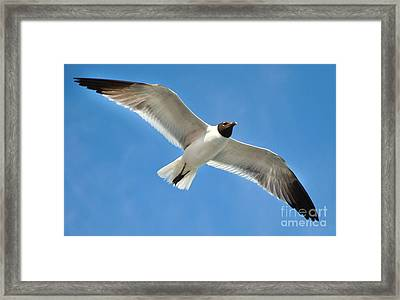 Laughing Gull Framed Print