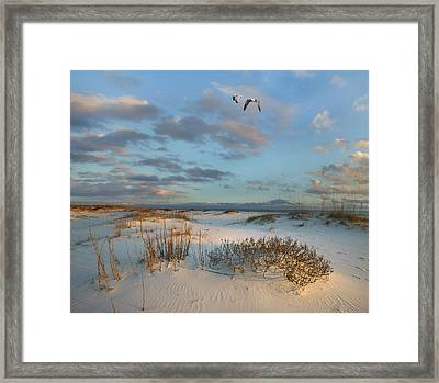 Laughing Gulls Flying Over Dunes Gulf Framed Print
