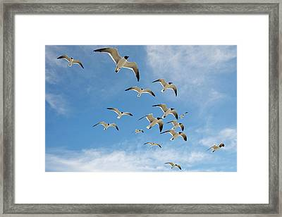 Laughing Gulls (larus Atricilla Framed Print by Larry Ditto