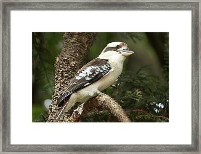 Laughing Kookaburra (dacelo Framed Print